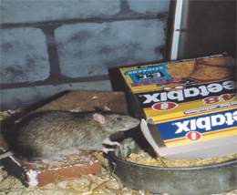 Rat treatment, Rodent extermination  , removal, elimination, How to get rid of rats, Rats removal